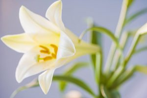 Easter Sunday Drive-Thru Communion & Easter Lily Pick Up